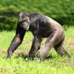 Chimpanzee walking on a grass. — Stock Photo
