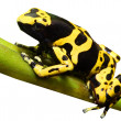 Yellow-banded poison dart frog - Dendrobates leucomelas — Stock Photo