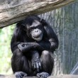 Portrait of a adult chimpanzee in Zoo Pilsen — Stock Photo #34677545