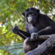 Portrait of a adult chimpanzee in Zoo Pilsen — Stock Photo #34677549