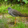 The Redshank — Stock Photo