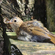 Young European Robin — Stock Photo