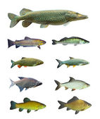 Great collection of freshwater fish — Stock Photo