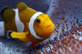Clown fish in tropical sea — Stock Photo