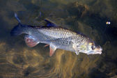 European Chub — Foto de Stock