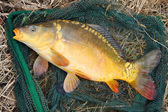 Big Common carp — Stock Photo