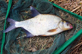 Common bream — Foto de Stock