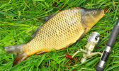 The Common carp (Cyprinus carpio) in landing net. — Stock Photo