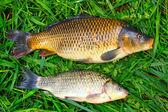 Crucian Carp and Common carp — Stock Photo