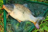 Common carp in landing net. — Stock Photo
