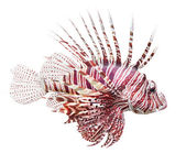 Tropical fish - The Red Lionfish (Pterois volitans) — Stock Photo