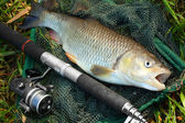 Chub on a landing net — Foto de Stock