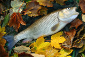 White Amur or Grass Carp — Stock Photo
