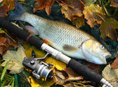Grass Carp — Stock Photo