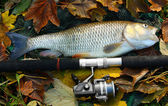 Large grass carp — Stock Photo