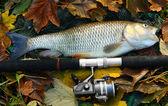 Large grass carp — Stock Photo