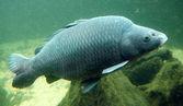 Underwater photo of The Catfish (Silurus Glanis) — Stock Photo