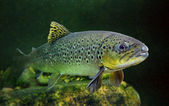 The brown trout (Salmo trutta) — Stock Photo