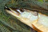 Big Pike on  landing net. — Stock Photo