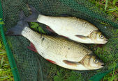 The fish on a landing net — ストック写真