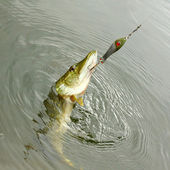 The Pike on a spinner bait. — Stock Photo