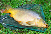 Raw giant carp — Stock Photo