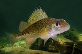 Eurasian Ruffe fish — Stock Photo