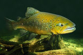 The Brown Trout fish — Stock Photo
