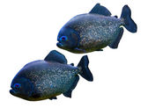 Piranhas — Stock Photo
