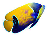 Majestic Angelfish — Stock Photo