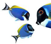 Surgeonfish and Zebrasoma — ストック写真