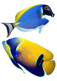 Surgeonfish and Majestic Angelfish — Stock Photo