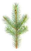 Blue Spruce - Picea pungens branch isolated on white background — Stock Photo