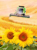 Combine harvester and sunflowers field — Stock Photo