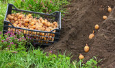 Planting of potatoes on a bio garden. Seasonal work. — Stock Photo
