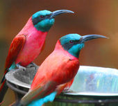 A Northern Carmine Bee-Eater — Stock Photo