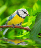 The Blue Tit (Cyanistes caeruleus) over a garden pond. — Stock Photo