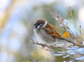 The male of a House Sparrow ( Passer domesticus ) — Stock Photo