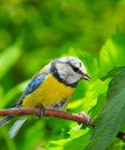 The Blue Tit (Cyanistes caeruleus). — Stock Photo