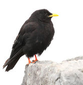 Alpine Chough or Yellow-billed Chough — Stock Photo