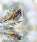 The male of a House Sparrow ( Passer domesticus ) on a twig over a spring flood. — Stock Photo