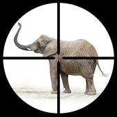 African elephant in the Hunter's scope. — Stock Photo