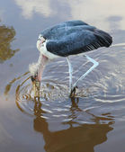 The Marabou Stork (Leptoptilos crumeniferus) hunting in the swamp. — Stok fotoğraf
