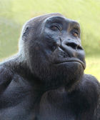 The Gorilla portrait. — Stock Photo