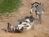 Picture of The Zebra rolling in the dust. Antiparasitic dust bath. — Stock Photo