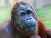 Happy smile of The Bornean orangutan (Pongo pygmaeus). — Stock Photo