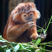The Javan lutung or Javan langur (Trachypithecus auratus). — Stock Photo