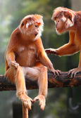 Two Langurs have a fun. The Javan langur (Trachaypithecus auratus). — Stock Photo