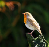 Avrupa robin — Stok fotoğraf