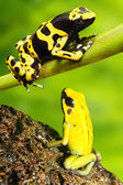 Dendrobates leucomelas — Stock Photo
